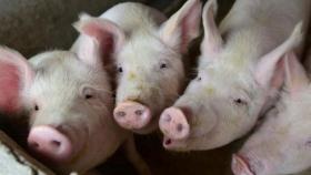 Los precios del cerdo alemán vuelven a subir tras la interrupción de las exportaciones y los mataderos