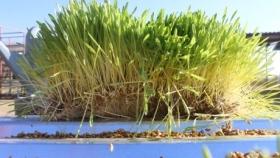 La producción de forraje hidropónico: una solución novedosa para épocas de sequía