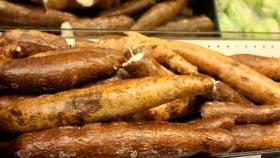 Yuca o mandioca: Un tubérculo que alimenta continentes