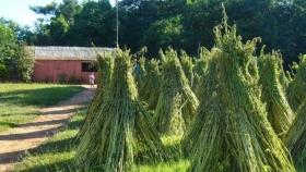 Inició cosecha de sésamo, rubro que impacta positivamente en la agricultura familiar campesina