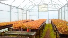 10.590 plantas de lengas destinadas a la restauración del incendio forestal de 2008 que afectó 3500 hectáreas de bosque