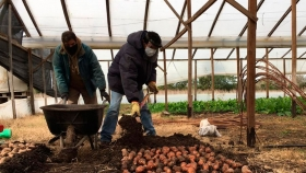 Batata: INTA AMBA impulsa su cultivo
