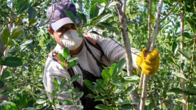 Molineros y productores rechazan las limitaciones para producir yerba mate que se implementarán en 2022