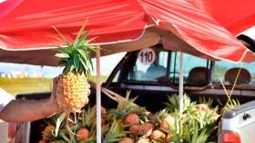 Proponen elevar la producción de ananá en invernaderos