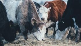 La UE busca volver a autorizar el uso de harinas de animales para alimentación de ganado