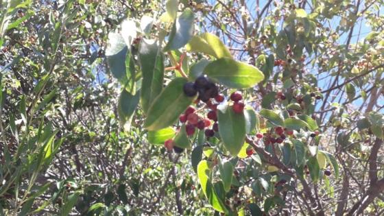 Un berry milenario y de alto potencial