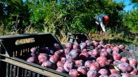 Realizan encuentros para que los productores de ciruela DAgen puedan exportar a China