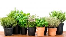 ¿Cómo cultivar hierbas aromáticas en casa?
