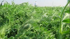 Cultivos de servicio: una herramienta clave para una agricultura sustentable
