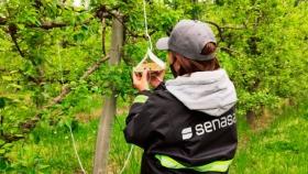 Autorizan la cosecha de manzanas Gala en algunas zonas de Neuquén