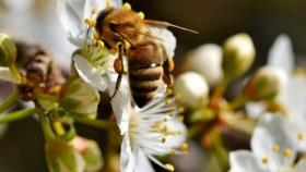 El número de especies de abejas disminuye un 25%