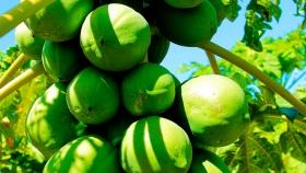 Cosecha de mamón: El Agro acompaña en territorio el desarrollo de la producción en el contexto de Covid-19