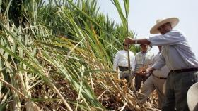 Advierten retroceso en precio de azúcar a poco de iniciar la zafra