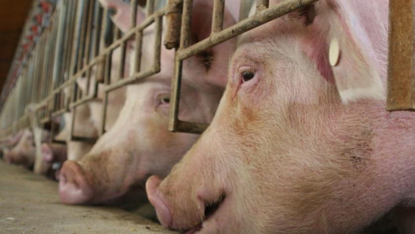 Créditos para la producción porcina