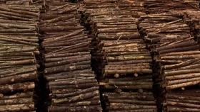 Obtienen de restos de pino y eucalipto compuestos químicos con interés industrial