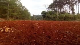 Araucaria angustifolia: un gigante de la selva misionera que se encuentra bajo una iniciativa de manejo, conservación y mejora en el INTA