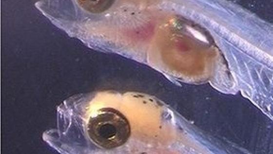 Investigadores del CSIC demuestran una alta sincronización en los ritmos de las larvas de dorada que podría mejorar su cultivo en acuicultura