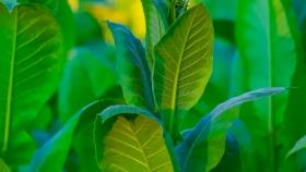 ¿Qué es el tabaco orgánico?