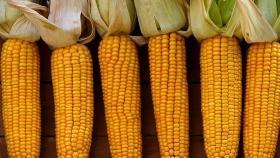 México prohibió el maíz transgénico y camina hacia la eliminación del glifosato