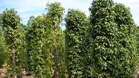 El cultivo de pimienta