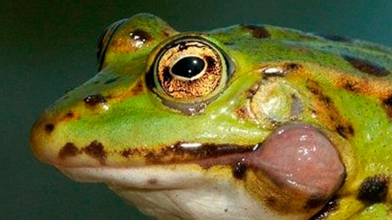 En Francia crían ranas para aprovecharlas en los restaurantes