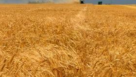 La producción de cebada aumentó 17%