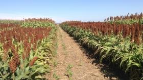Ya se cosechó el 48 % del sorgo sembrado en los campos bonaerenses