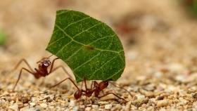Cómo proteger al jardín de las hormigas cortadoras