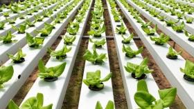 Hidroponía: impulsan la producción en un sistema eficiente y sustentable