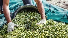 Olivicultura argentina en la cuerda floja