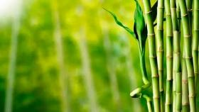 Bambú: un cultivo amigable con el ambiente que puede crear variedad de productos