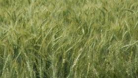 ¿Tiene importancia pensar qué trigo sembrar?