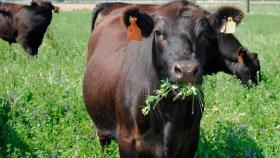 Consejos para el pastoreo en alfalfa