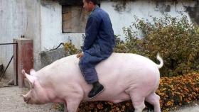 China cría cerdos gigantes y los precios se desploman