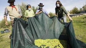 Avanzan en la producción de olivos en Comodoro: