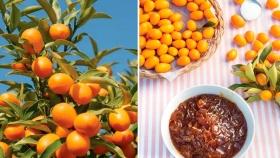 Quinoto, la fruta que podés cultivar en un balcón y convertir en exquisita mermelada