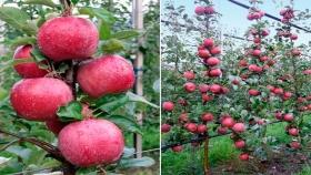 T&G Global lanza primera variedad de manzana resistente al cambio climático