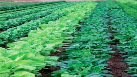 Claves para el éxito del cultivo de espinacas