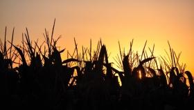 Brasil prevé una cosecha de maíz menor a la esperada