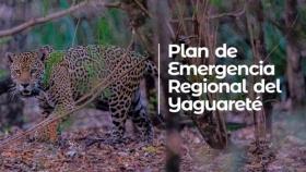Reactivan Plan de Emergencia Regional para la conservación del Yaguareté