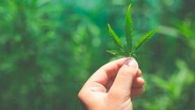 El cannabis puede ser el nuevo agronegocio