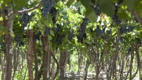 Uva de mesa: una golosina natural y saludable de producción nacional