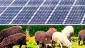 Reemplazan el corte mecánico por ovejas solares para mantener la vegetación alrededor de paneles