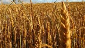 Trigo: por la falta de lluvias, no se alcanzaría la cosecha récord estimada