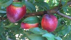 El INTA presenta Don Tonco el nuevo cultivar de nectarina que ampliará la producción de frutales en Jujuy