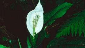 Cuidados del espatifilo: tipos de riego, época de cultivo y poda