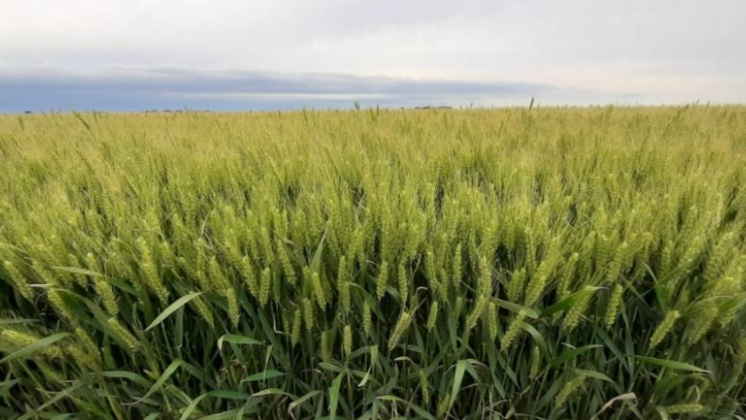Maximizando el rendimiento y calidad del trigo con genética y nutrición