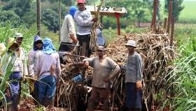 Investigadores analizan cadena de producción de caña de azúcar orgánica