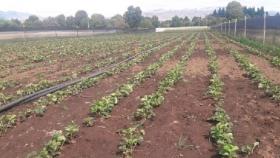 Buenas Prácticas Agrícolas para frutilleros de El Maitén