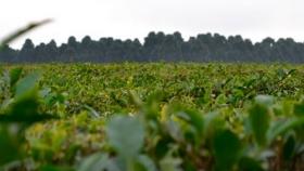 Gestionan la reactivación de exportadores de té
